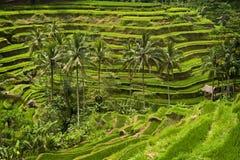Tegallalang, Bali. Royalty Free Stock Photos