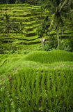Tegallalang, Bali. Near the cultural village of Ubud is an area known as Tegallalang that boasts the most dramatic terraced rice fields in all of Bali Royalty Free Stock Photo