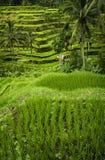 Tegallalang, Bali. Royalty Free Stock Photo