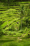 Tegallalang, Bali Rice Terraces. Some of the more spectacular rice terraces can be seen in the village of Tegallalang. Lush verdant green scenery and panoramic Stock Photo