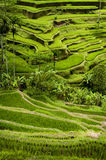 Tegallalang, Bali Rice Terraces. Some of the most dramatic and beautiful rice fields can be found at the village of Tegallalang, not far from Ubud, the cultural Royalty Free Stock Photos