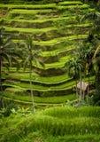 Tegallalang, de Rijstterrassen van Bali. royalty-vrije stock fotografie