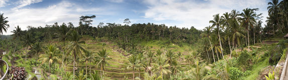 Tegallalang-Reis-Terrasse Stockfotos