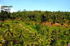 Tegallalang Rice Field Terrace Royalty Free Stock Images