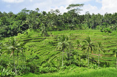 Tegallalang rice fields in Bali, Indonesia Royalty Free Stock Photo