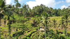 Tegallalang Rice Terrace, Bali. Indonesia royalty free stock image
