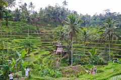 Free Tegallalang Rice Terrace Fields - Ubud - Bali - Indonesia Stock Photography - 144344582