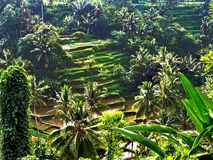 Tegallalang Rice Terraces in Ubud Stock Images