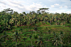Tegallalang risterrasser i Ubud Arkivfoto
