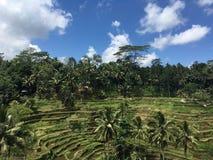 Tegallalang risterrasser i Ubud Bali Fotografering för Bildbyråer