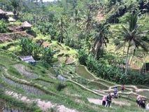 Tegallalang risterrasser i Ubud Bali Arkivbilder