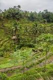 Tegallalang risterrasser och vegetation i Ubud, Bali, Indonesien arkivbild