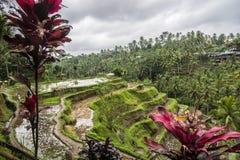 Tegallalang risterrasser och vegetation i Ubud, Bali, Indonesien royaltyfri bild