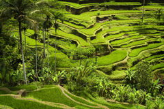 Tegallalang, Ubud, Bali. The most dramatic and spectacular rice terraces in Bali can be seen near the village of Tegallalang Stock Photo