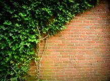 tegelstenmurgrönavägg Arkivfoto