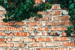 Tegelstenstaket med murgrönasidatextur Royaltyfria Bilder