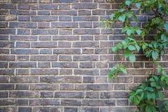 Tegelstenvägg med den gröna murgrönan Arkivfoto