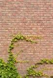 Tegelstenvägg med grön murgrönaklättrarebakgrund Arkivbild