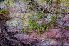 Tegelstenvägg med sandsten för colourfull för vinrankaväxt royaltyfri foto