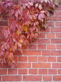 Tegelstenvägg som täckas delvis i röda vinrankor royaltyfri fotografi