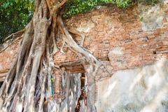 Tegelstenväggen med trädet rotar Royaltyfri Bild