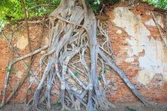 Tegelstenväggen med trädet rotar i templet Thailand Royaltyfri Fotografi