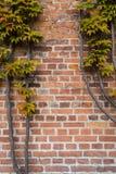 Tegelstenväggen täckas med höstdruvasidor royaltyfria bilder