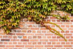 Tegelstenväggen täckas med höstdruvasidor arkivfoto