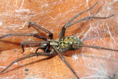 Tegenaria agrestis - Hobo Spider. A poisonous Hobo Spider found under a barrel in Western Washington royalty free stock photography
