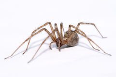 Tegenaria atrica - big spider isolated on white. Tegenaria atrica - one of Europe's biggest spiders - isolated on white Stock Images