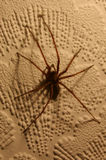 Tegenaria House Spider 01. A large house spider (Tegenaria species) on the wall Stock Photos