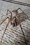 Tegenaria saeva spider close up Royalty Free Stock Image