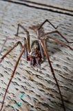 Tegenaria saeva Spinnenabschluß oben lizenzfreies stockbild