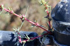 Tegenovergesteld-Leaved Salsolasoda, saltwort, Barilla installatie royalty-vrije stock afbeelding