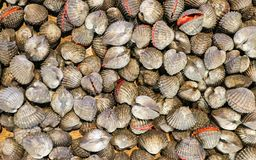 Tegillarca granosa ,Anadara granosa , blood cockle, blood clam fresh raw seafood shell in the market. Tegillarca granosa ,Anadara granosa , blood cockle, blood Royalty Free Stock Image