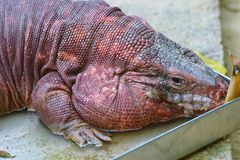 Tegu Royalty Free Stock Images