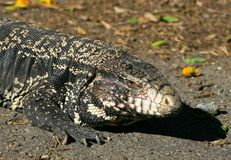 Tegu Lizard Royalty Free Stock Photo