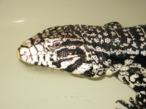 Tegu Lizzard Stock Images