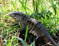 Teguixin do Tupinambis do lagarto que procura o alimento Fotografia de Stock