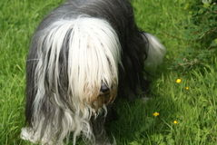Tegwen the bearded collie Royalty Free Stock Photo