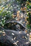Teia de aranha em arbustos negligenciados do buxo Fotos de Stock Royalty Free