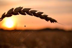 Teia de aranha no trigo que brilha no sol Imagens de Stock