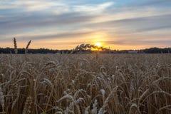 Teia de aranha no trigo que brilha no sol Fotografia de Stock