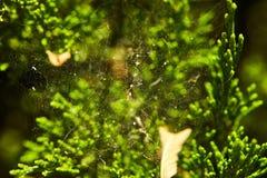 Teia de aranha tecida em arbustos coníferos imagens de stock