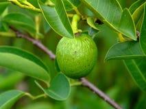 Teich-Apple-Annona glabra Stockfotografie