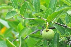 Teich-Apple-Annona glabra lizenzfreies stockbild