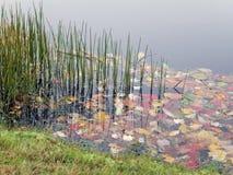 Teich-Gras Stockfoto
