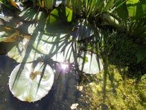 Teich mit Lilien lizenzfreie stockfotos