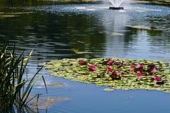 Teich mit Lilien stockfotografie