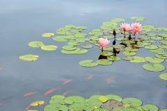 Teich mit purpurroter Seerose und koi Fischen Stockfotos